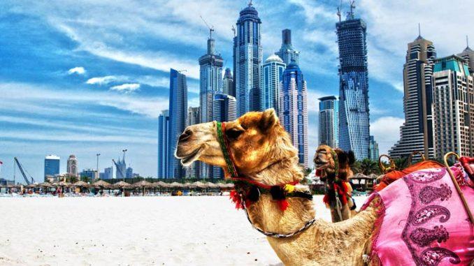 kamel på strand i Dubai